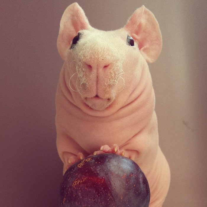 naked-guinea-pig-food-photoshoot-ludwik-57__700