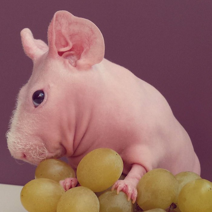 naked-guinea-pig-food-photoshoot-ludwik-67__700