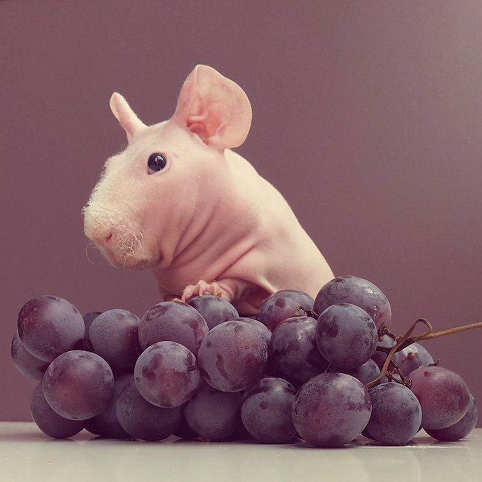 naked-guinea-pig-food-photoshoot-ludwik-81__700